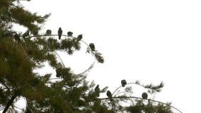 Gołębie na drzewie zbiory
