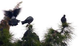 Gołębie na drzewie zbiory wideo