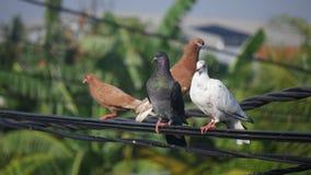 Gołębie na linii energetycznej Zdjęcia Royalty Free