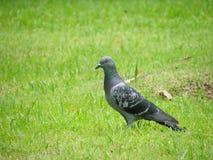 Gołębie na Trawie obrazy stock
