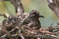 gołębie nieletni macroura opłakiwać zenaida Fotografia Stock