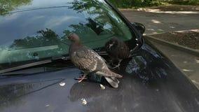 Gołębie odpoczywa na kapiszonie samochód zdjęcie wideo