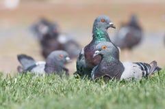 Gołębie otaczający trawą Obrazy Royalty Free