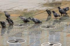 Gołębie piją wodę od bezczynnie miastowej fontanny Obraz Stock