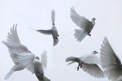 gołębie przewoźników Obraz Royalty Free