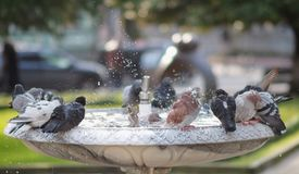 Gołębie przy fontanną obraz royalty free
