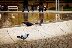 Gołębie przy fontanną Zdjęcia Stock