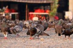 Gołębie są szukają jedzenie na ziemi obrazy stock