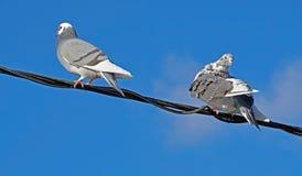 Gołębie siedzą na drutach Fotografia Stock