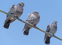 Gołębie siedzą na drutach Obraz Stock