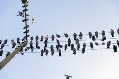 Gołębie siedzą na drutach Zdjęcia Royalty Free