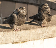 Gołębie siedzą na kamieniu Obraz Stock
