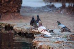 Gołębie stawem Piękni miasto ptaki Zdjęcia Royalty Free
