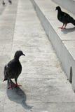 Gołębie Stoi na krokach w Florencja Włochy Obrazy Royalty Free