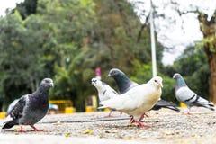 Gołębie szuka dla jedzenia na bruku różni kolory zdjęcia royalty free