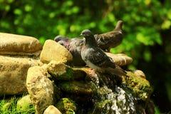 Gołębie uciekają od lato upału przy siklawą Obrazy Royalty Free