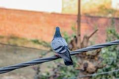 Gołębie ustawia na kablu fotografia stock