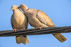 Gołębie w miłości grą Zdjęcia Stock