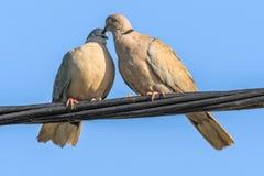 Gołębie w miłości grą Obrazy Royalty Free