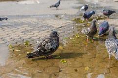 Gołębie w wodnej kałuży Zdjęcia Royalty Free