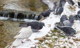 Gołębie w zimie Obrazy Royalty Free