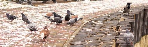 Gołębie w zimie Zdjęcia Stock