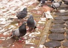 Gołębie w zimie Fotografia Royalty Free