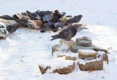 Gołębie w zimie Fotografia Stock