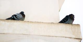 Gołębie w zimie, ptaki czeka jedzenie wewnątrz zdjęcie stock