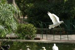 gołębie wyścigi Zdjęcia Royalty Free