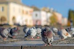 Gołębie wygrzewają się w rynku pod słońcem w opóźnionej jesieni zdjęcie stock