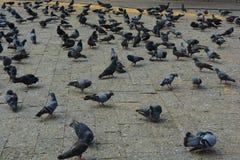 Gołębie zbliżają bramę India Zdjęcia Stock