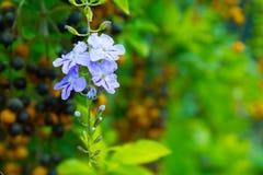 Gołębiej jagody kwiat Zdjęcie Royalty Free
