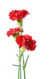 goździk czerwień trzy Zdjęcie Royalty Free
