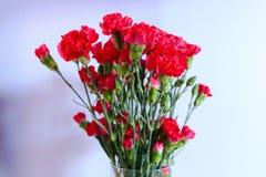 goździk kwitnie czerwień Zdjęcie Stock