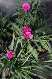 goździk Goździk z zielonymi liśćmi i kwiatów pączkami w garnku dla dekoraci lub prezenta motyla opadowy kwiecisty kwiatów serca w Zdjęcie Royalty Free