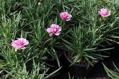 goździk Goździk z zielonymi liśćmi i kwiatów pączkami w garnku dla dekoraci lub prezenta motyla opadowy kwiecisty kwiatów serca w Obrazy Royalty Free