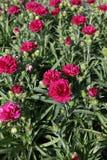 goździk Goździk z zielonymi liśćmi i kwiatów pączkami w garnku dla dekoraci lub prezenta motyla opadowy kwiecisty kwiatów serca w Zdjęcia Stock