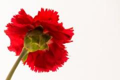 goździka biel odosobniony czerwony obrazy stock