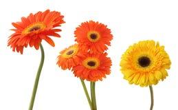 Goździka i gerbera kwiat odizolowywający na bielu Obraz Royalty Free