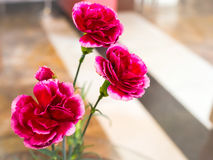 Goździka kwiat, czerwonego koloru miękka ostrość Obraz Stock