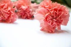 Goździka kwiat na białym tle z skutkiem Fotografia Stock