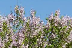 Goździkowi kwiaty Zdjęcia Stock
