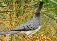 Go-away-bird, Ethiopia, Africa. White-bellied Go-away-bird, Ethiopia, Africa Royalty Free Stock Images