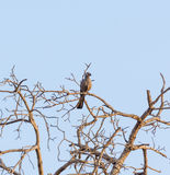 Go away bird in Kruger Park South Africa Stock Photography