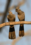Go Away bird pair on perch Stock Images