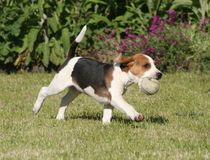 Go Beagle go. Beagle puppy runing with his ball Royalty Free Stock Photo