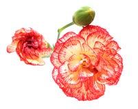 Goździków kwiaty Obrazy Stock