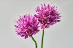 goździk purpury dwa Zdjęcie Stock