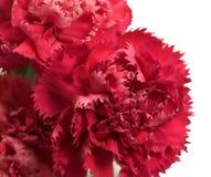 goździka caryophyllus dianthus kwiatów menchie Obraz Royalty Free
